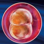 2 неделя беременности женщины