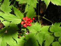 Ядовитая и опасная ягода воронец красноплодный