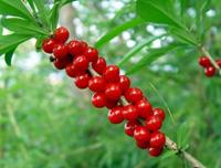 Ядовитые ягоды в лесу волчье лыко красного цвета